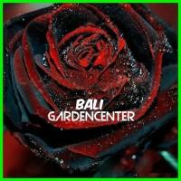 Benih Biji Bunga Mawar merah/hitam red/black Rose