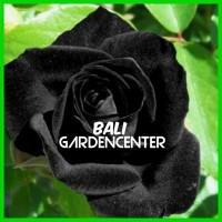 Benih Biji Bunga Mawar Hitam / Black Rose IMPORT