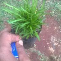 tanaman krokot jarum / kerokot jarum / krokot hijau