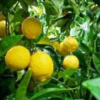benih/biji/bibit buah jeruk lemon cui menawan