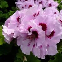 benih/biji/bibit bunga geranium light lavender subur