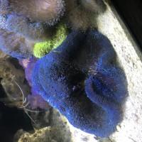 ikan hias laut anemon karpet biru
