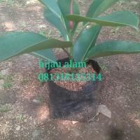 tanaman karet kebo / rubber plant / ficus elastika