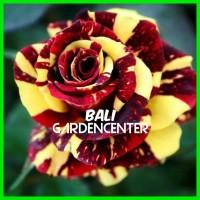 Bibit Benih Biji Bunga Mawar Batik Red / Batik Red Rose Import