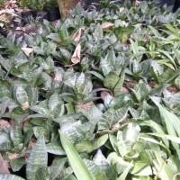 tanaman/pohon sansevieria/ sansivera   tanaman sansivera mini hijau
