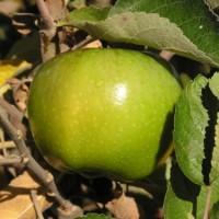 Harga berisi 4 butir biji benih buah bidara apel | DEMO GRABTAG