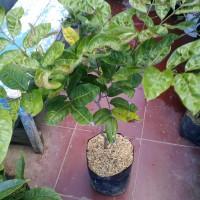 tanaman pohon buah kelengkeng aroma durian