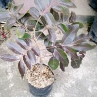 tanaman pohon buah kelengkeng merah