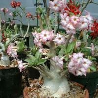 Bibit / Benih / Seeds Adenium Arabicum Cocok untuk Daerah Panas