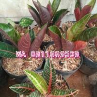 Aglaonema Red Sumatra / Aglonema Pride of Sumatra / Sumatera