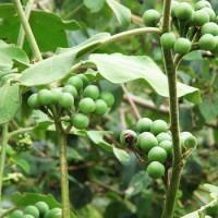 Buah Rimbang Takokak Cepokak Pokak Terung Pipit Solanum Torvum
