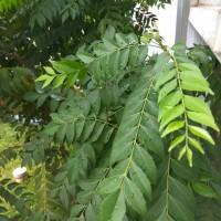 Daun kari (Curry leaves) / salam koja