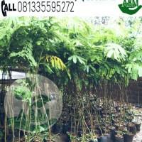Bibit Pohon Sengon Laut