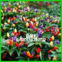 Benih Bibit Biji Cabe Rainbow Pepper Chili seeds