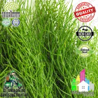 HERBS - Benih FENNEL COMMON GREEN IMPORT Bibit tanaman Herba FENEL