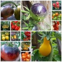 Jual Benih/biji/bibit tomat unik 15 jenis Murah