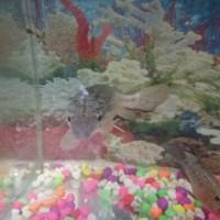 Ikan Buaya/Alligator Gar 30cm