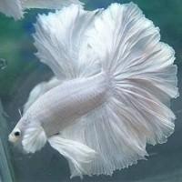 double tail dumbo ikan cupang betta hias aduan halfmoon aquarium murah