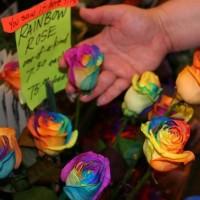 Jual Benih/Bibit Mawar Pelangi (Rainbow Rose) Import Murah