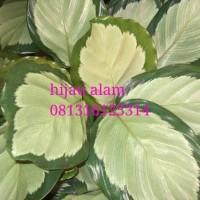 tanaman hias calathea dark star / tanaman kalatea