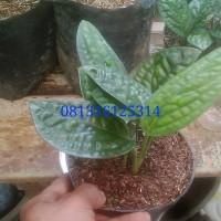 tanaman sirih kulit / tanaman siri