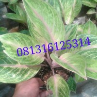 tanaman aglaonema golden siam / aglonema golden