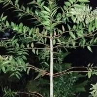 pohon plindung damar