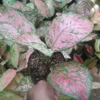 tanaman aglonema big rubby / aglaonema biggrubby