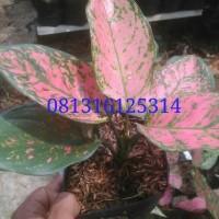 tanaman aglaonema valentine / aglonema valentine