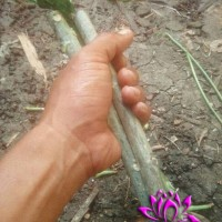 Stek Batang Pohon Pepaya Jepang