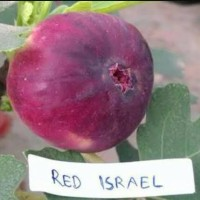 Bibit buah tin red israel ( Khurtmani Fig)