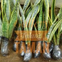 Tanaman Sansevieria | Pohon Lidah Mertua | Tanaman Pembersih Udara
