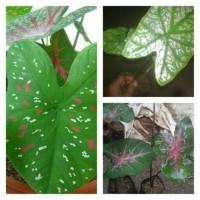 paket tanaman keladi / paket kladi