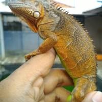 Red Iguana HARGA MIRING 2
