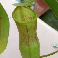 Nepenthes ventricosa x campanulata / kantong semar / tanaman karnivora