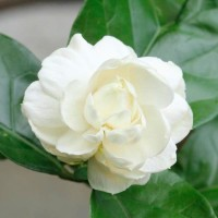 Biji Benih Bunga Melati White Arabuan Jasmine Putih SH009-P