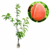 bibit tanaman buah persik