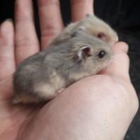 Hamster Argente/blue Argente