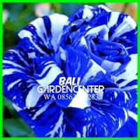 Benih Biji Bunga Mawar Blue Dragon Rose