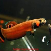 LAngka original import BRUNEI ikan cupang purba macrostoma wild bettA
