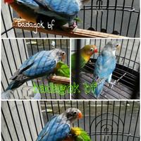 Burung Lovebird biru Cobalt blue cobalt Lakbet / love bird / Lakbet