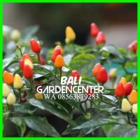 Cabe - Pepper (Hot) Bolivian Rainbow - ORIGINAL - IMPORT AU