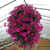 tanaman hias bibit bunga petunia