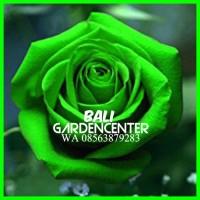Bibit Benih Biji Bunga Mawar Hijau / Green Rose Import