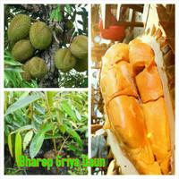 bibit durian menoreh medan asli