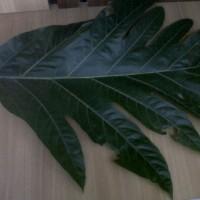 Daun kluwih kering (Ingg: seeded breadfruit, breadnut)