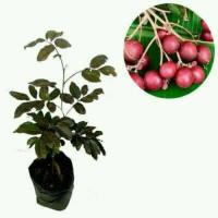 Tanaman bibit buah kelengkeng merah ( red ruby longan l