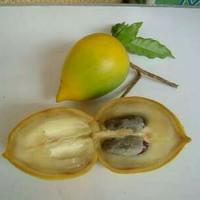 Bibit buah Abiu sawo australia