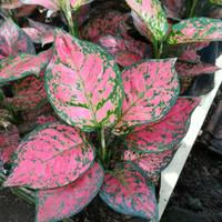 Aglonema/aglaonema | tanaman untuk koleksi