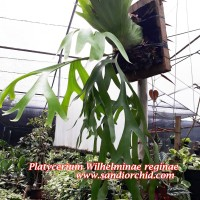 Platycerium Wilhelminae reginae spesial edition